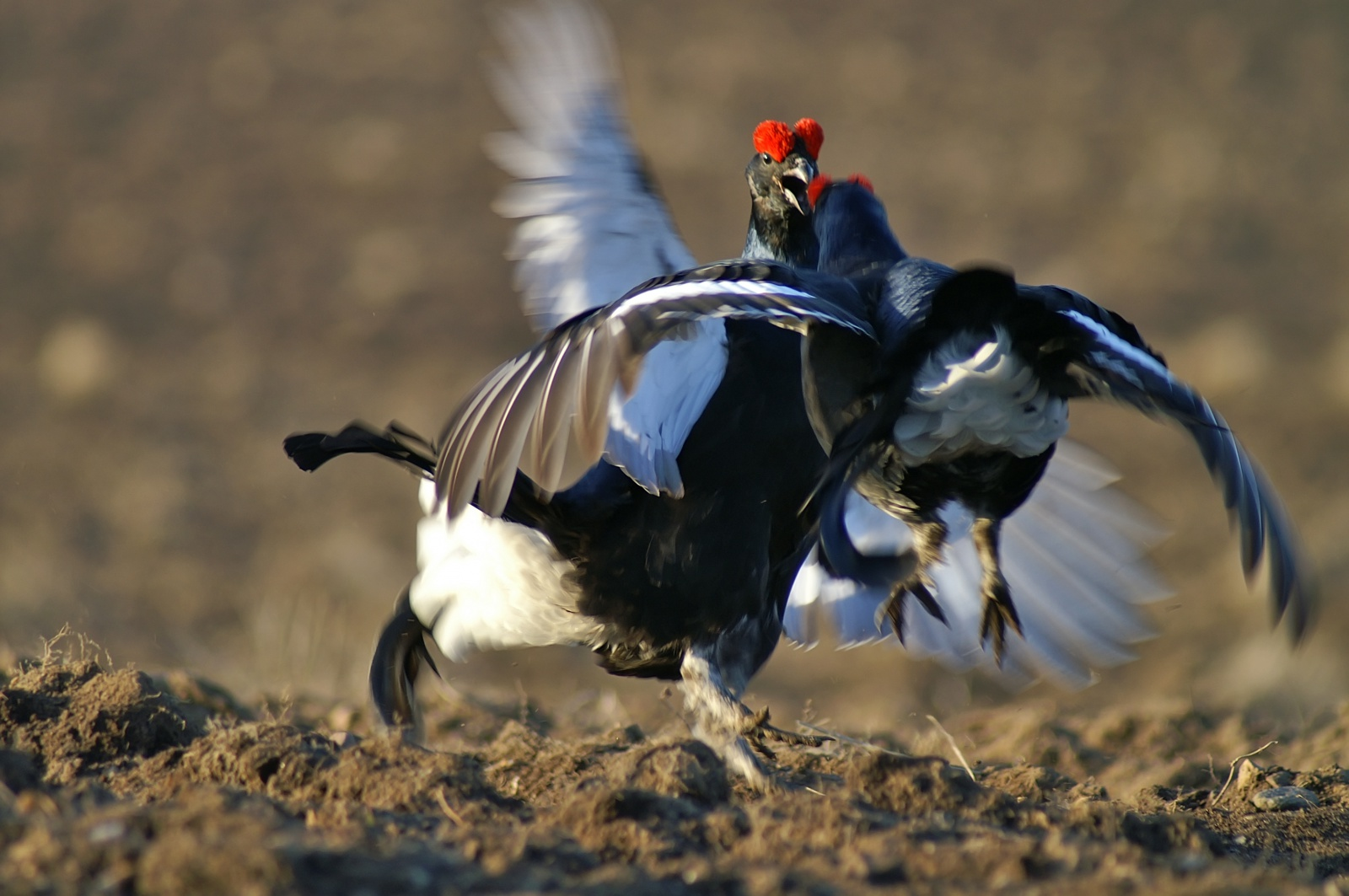 The most interesting thing is hunting for black grouse in the fall