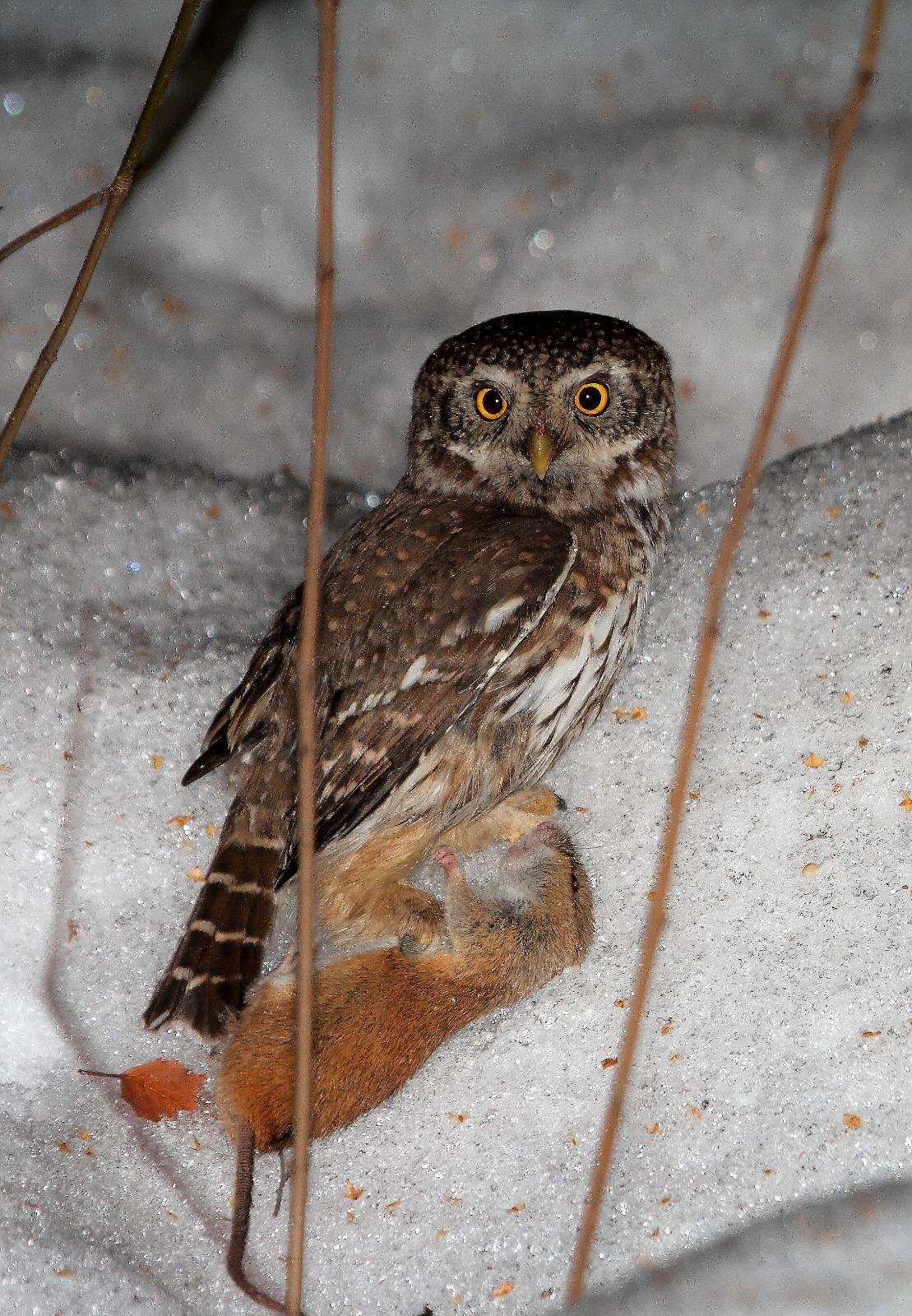 ночные птицы подмосковья фото и описание прессом чеснок