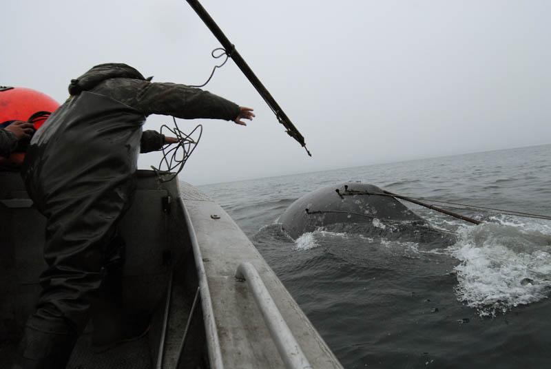 как ловили китов в 18 веке