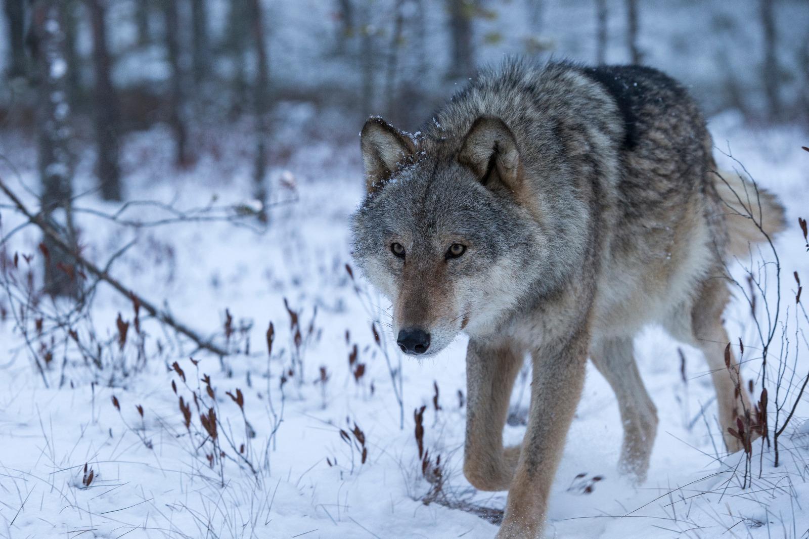 сельский сибирский волк зимой фото можно подавать